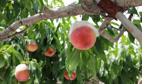 サンクトガーレン、訳ありの桃を使用した「7種の桃のエール」発売